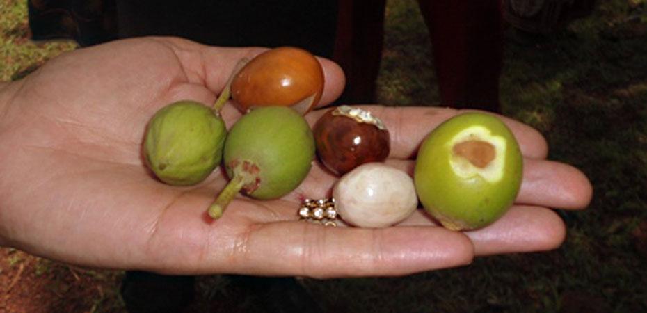 Die Nüsse des Karitébaumes.