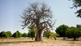 Der Baobab oder Affenbrotbaum verdankt sein Aussehen einem zornigen Gott: der Baum hatte sich solange darüber beschwert, dass er nicht schön genug sei, dass Gott ihn mit den Wurzeln nach oben in die Erde gesteckt hat …