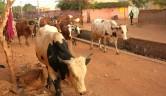 Eigentlich sind Kühe in der Stadt nicht erlaubt, aber sie kommen jeden Tag am Centre vorbei.