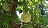 Jirimoya, eigene Ernte